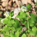 Photo of Garlic Mustard