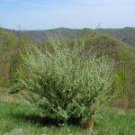 Autumn Olive shrub