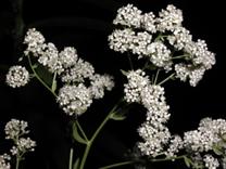 Broad-leaved Pepperweed
