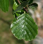 European Alder Leaf