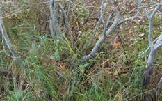 Gray Willow