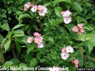 Multiflora Rose Blossoms