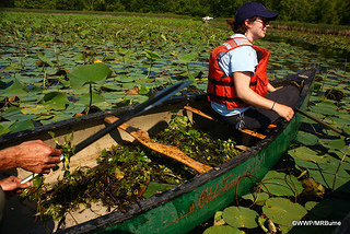 Pulling water chestnut